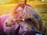 Pferd mit Infrarot Wärmedecke