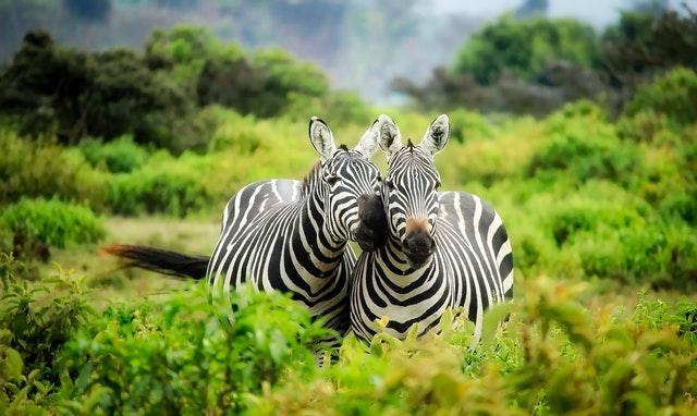 Zebras mit Infrarotfilter geschossen